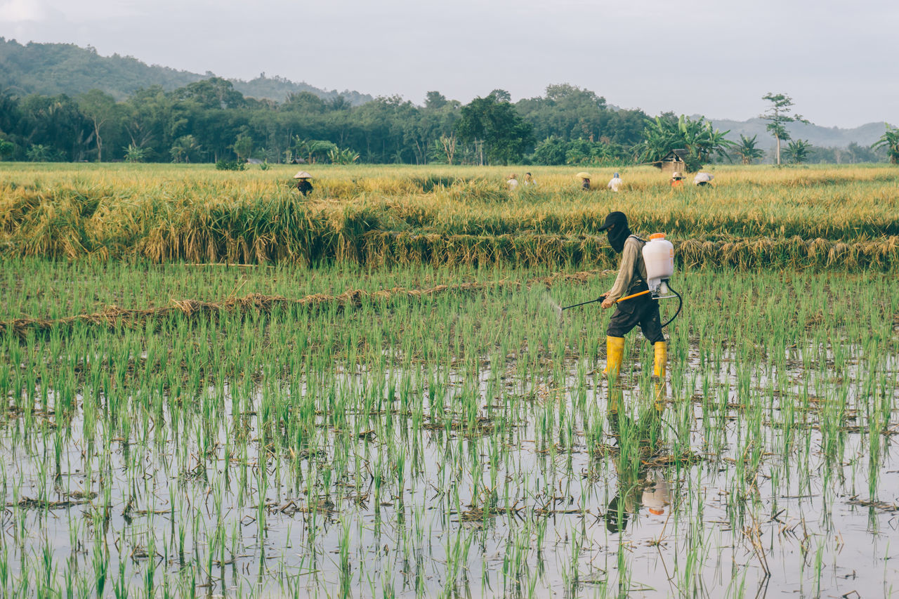 Agriculture Crop  Cultivated Land Farm Farm Worker Farmer Field Growth Landscape Manual Worker Men Nature Occupation Outdoors Plant Plantation Real People Rice - Cereal Plant Rice Paddy Rural Scene Working
