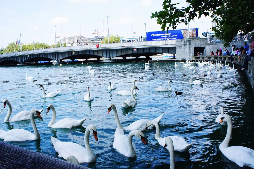 I could spend my whole day with them Swan Wildlife Feeding  Peaceful Place Water Traveling Nature Hangout EyeEm Best Shots Animals Enjoying Life My View Exploring Zürich Swiss