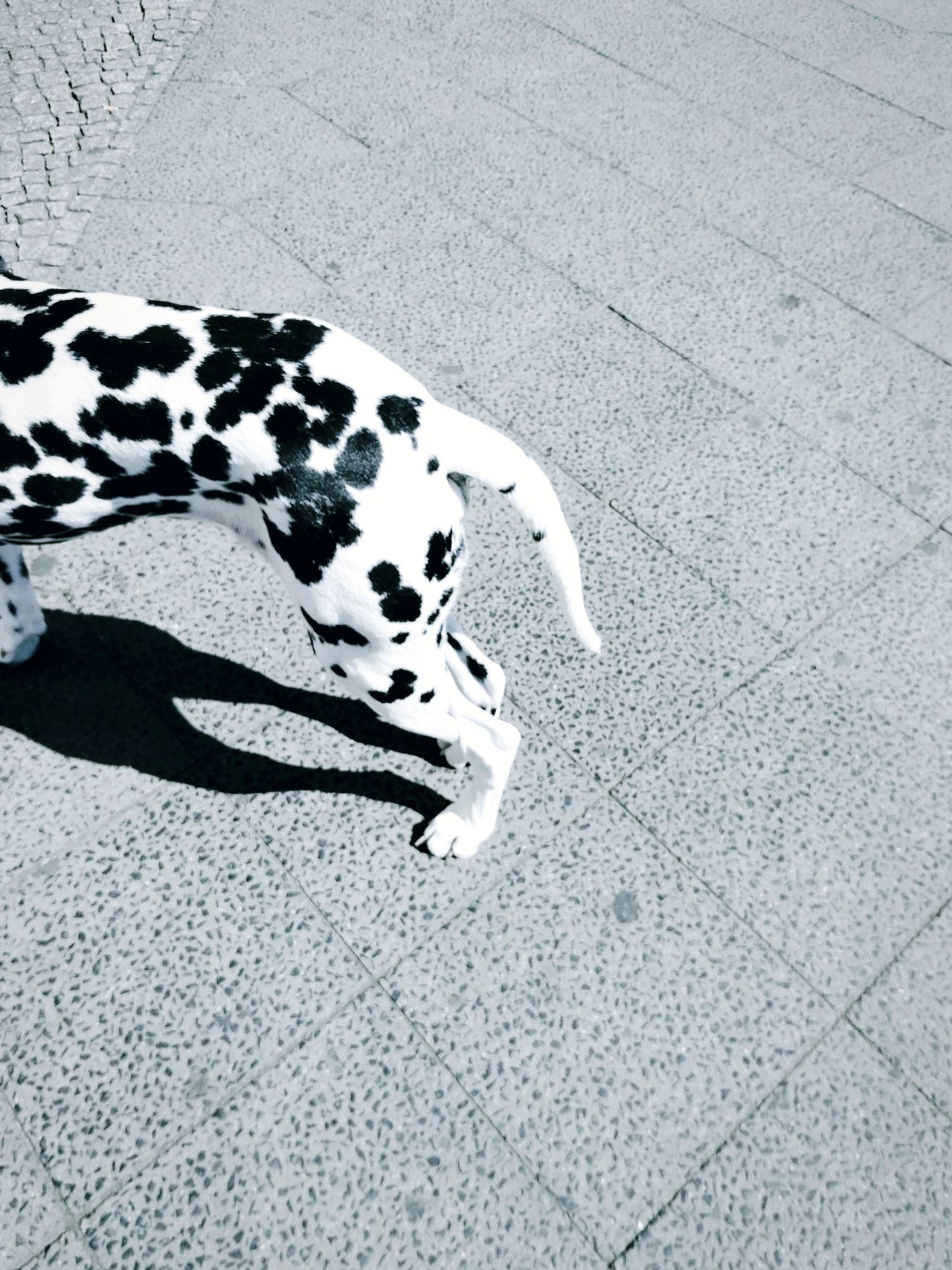 Dalmatian Dog One Animal Dog Pets Spotted Animal Themes Day No People Domestic Animals Street Life Streetphotography Street Photography Cute Dog  Blackandwhite Black & White Blackandwhite Photography Copy Space Backgrounds BYOPaper! The Street Photographer - 2017 EyeEm Awards Neighborhood Map Visual Feast