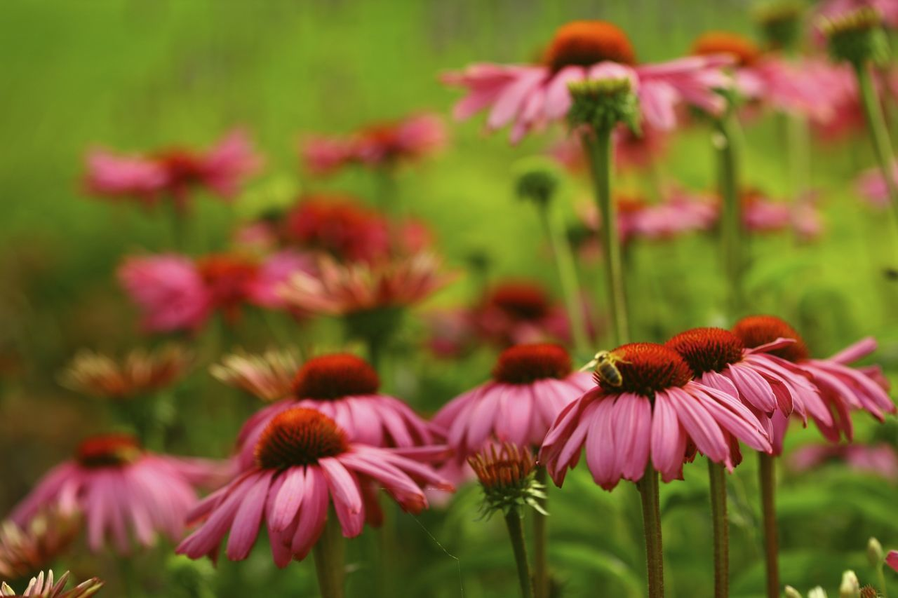 Echinacea purpurea Beauty In Nature Blooming Echinacea Purpurea Flower Focus On Foreground Garden Flowers Garden Photography Gardens No People Outdoors Plant Purple Coneflower Summer