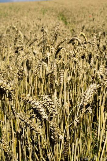 Agriculture Rural Scene Cereal Plant Crop  Field Farm Landscape Close-up Outdoors Backgrounds