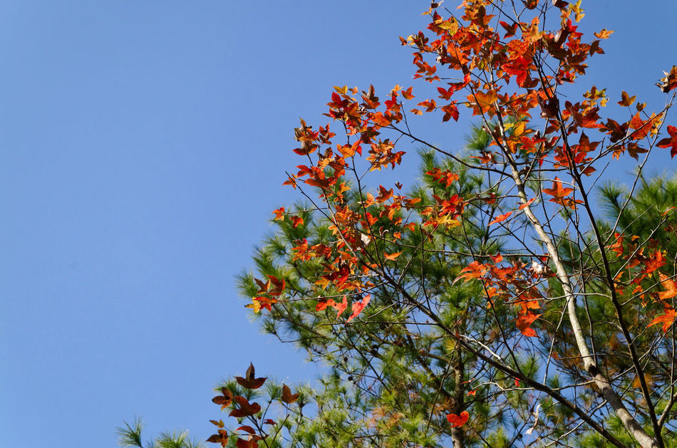 Beauty In Nature Blue Branch Clear Sky DSLR Growth Hong Kong Nature No People Outdoors Pentax Sweet Gum Tree Tree