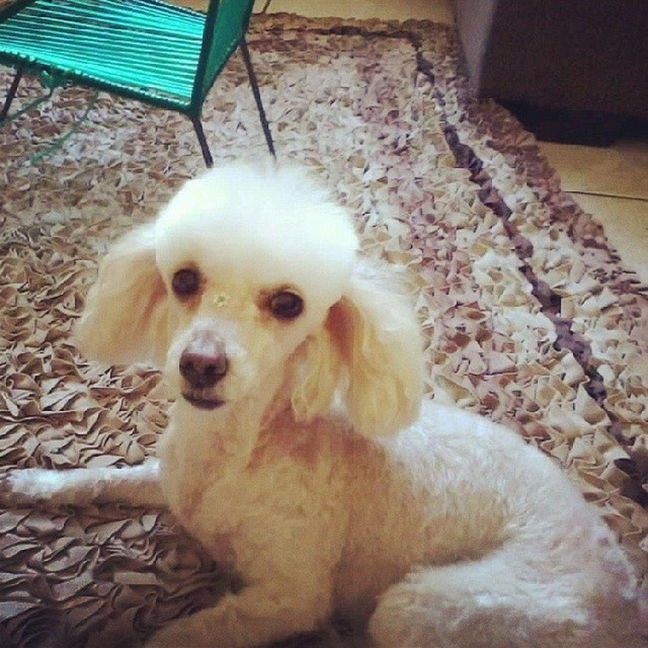 Aopa. Belinha Dog Poodle Poodletoy pet instaphoto instadog instapoodle instapet