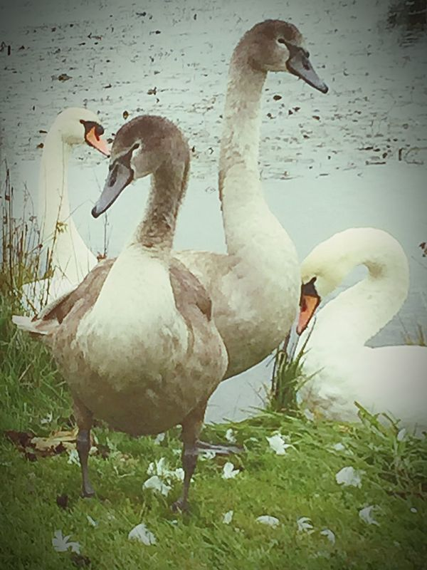 Bird Animals In The Wild Wildlife Lakeshore Zoology Water Bird Swans Angrybirds