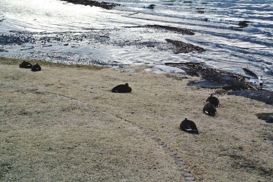長野県 諏訪市 諏訪湖 鳥 Japan Nagano Suwa Lake Suwa Lake Bird