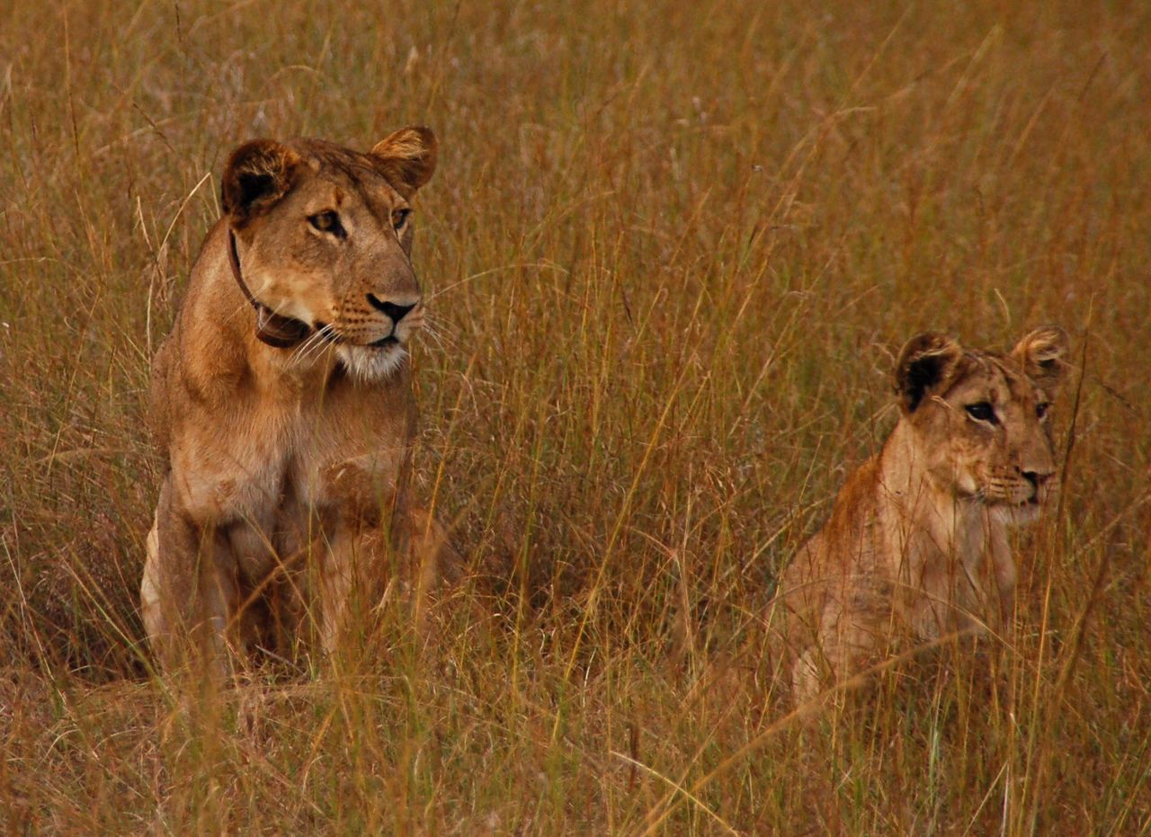 Lions Animal Themes No People Beauty In Nature Animals In The Wild Animal Wildlife Nature Uganda  Africa Lion Lioness Lion Cub Tawny Grass Grassland Queen Elizabeth National Park Africa Beauty Field Natural Beauty