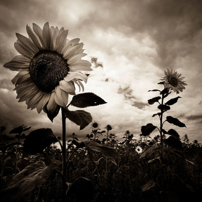 Armageddon Beauty In Nature Blooming Close-up Creative Photography Dark And Creepy Face Of Sunflower Flower Flower Head Flowers Growth Moody Nature Plant Sepia Sepia Sunflowers Sky Sunflowers Triffids  Eyeemphoto