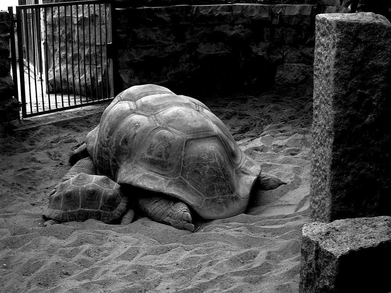 Black And White Bianco E Nero Turtle Turtles Turtle Giant Tartaruga Tartarughe Tartarughe Giganti Animals Animal Zoo Animals  Animali Zoo Animal Family EyeEm Best Shots EyeEm Nature Lover EyeEm Animal Lover EyeEm Gallery EyeEm Best Edits Eyeem Black And White Habitat For Animals Habitat Big Animals Love Animals Sleeping Animal