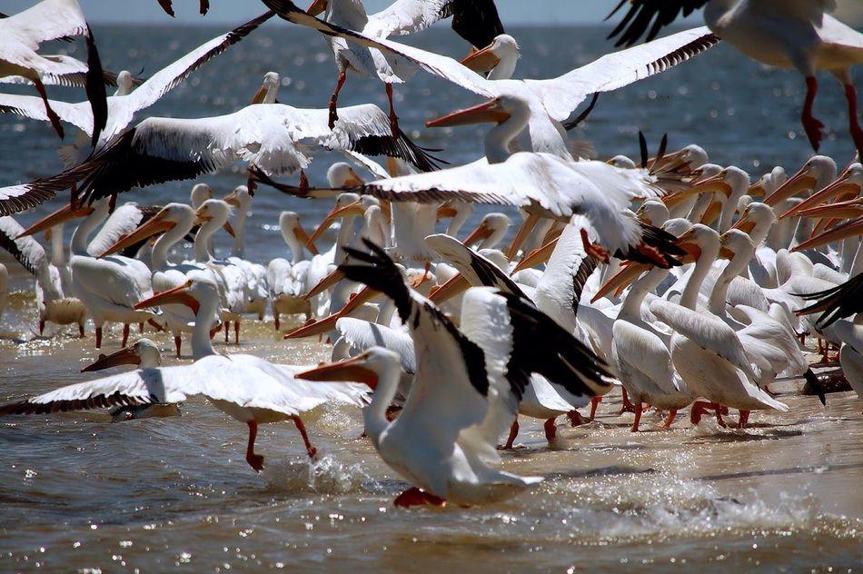 Cedar Key National Wildlife Refuge Pelicans Nature Flock Of Pelicans Birds Island Florida Albino Pelicans Gulf Of Mexico