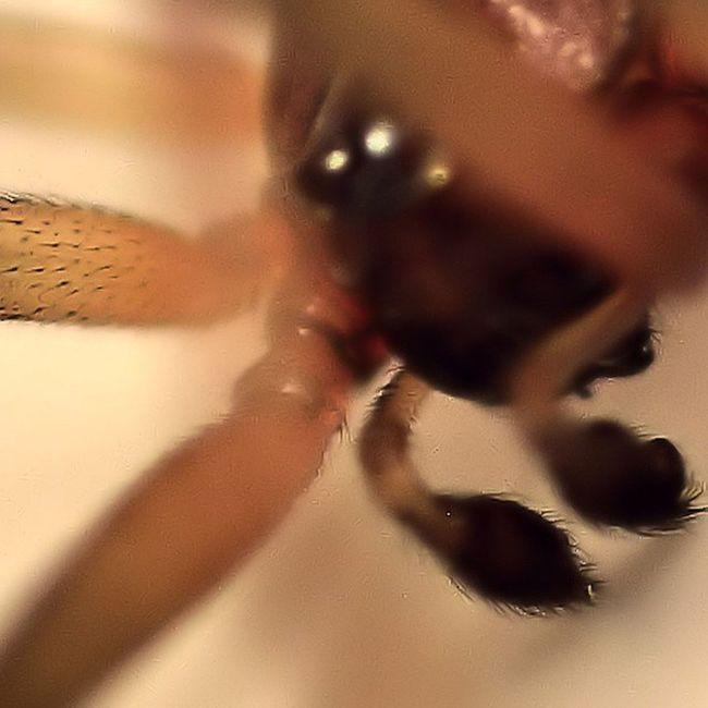 Steatoda Spider 8leggedfreak Peterparker Bugslife Nature Insect Exposure Outdoor Flowerstalking Capture Fotographia NatureIsBeautiful Nature Flowers Summer Nature Details Fotofanatics_macro Rsa_macro Macro Macroworld_tr Macrophotography Picture Tv_depthoffield tv_dof transfer_visions