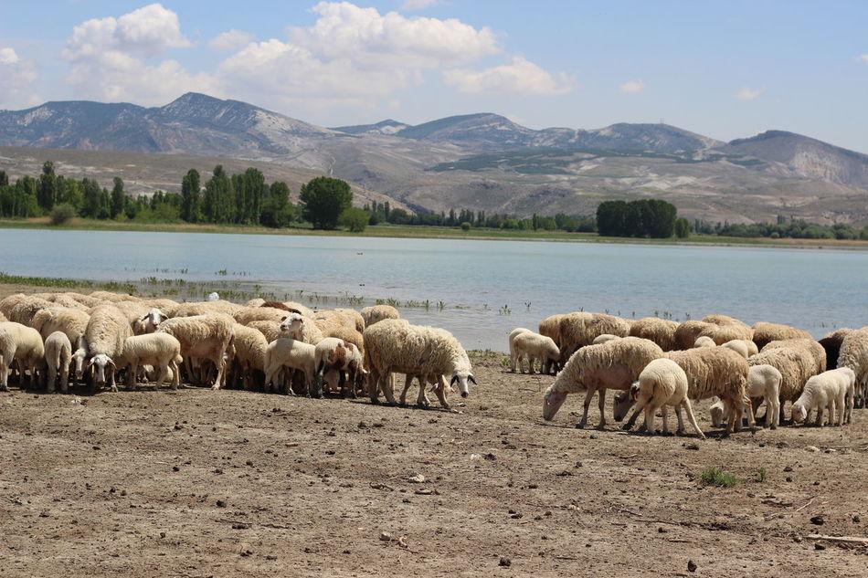 Beautiful stock photos of ankara,  Ankara,  Beauty In Nature,  Day,  Domestic Animals