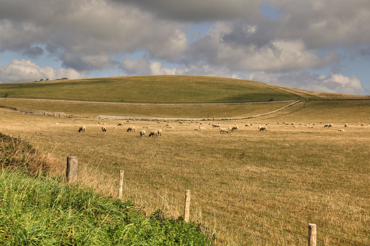 Agriculture Cattle Countryside England English Countryside Field Grass Grazing Animals Grazing Cattle Grazing Land Grazing Sheep Green Greenery Nature Outdoors Peaceful Picturesque Quaint  Quiet Rolling Hills Rural England Rural Scene Sheep South England Sussex