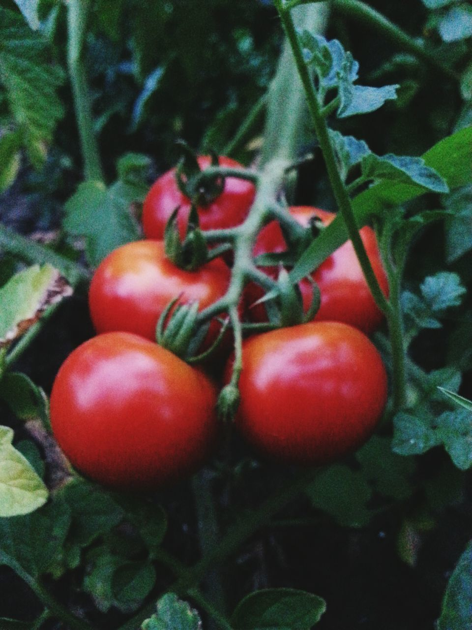 food and drink, growth, food, fruit, red, leaf, plant, no people, green color, nature, healthy eating, freshness, outdoors, vegetable, tomato, close-up, day, beauty in nature, tree
