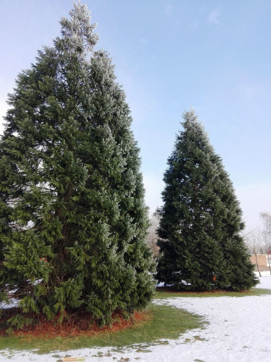 Sequoiadendron giganteum Tree Outdoors No People Sky Nature Beauty In Nature Tree Green Color Snow❄⛄