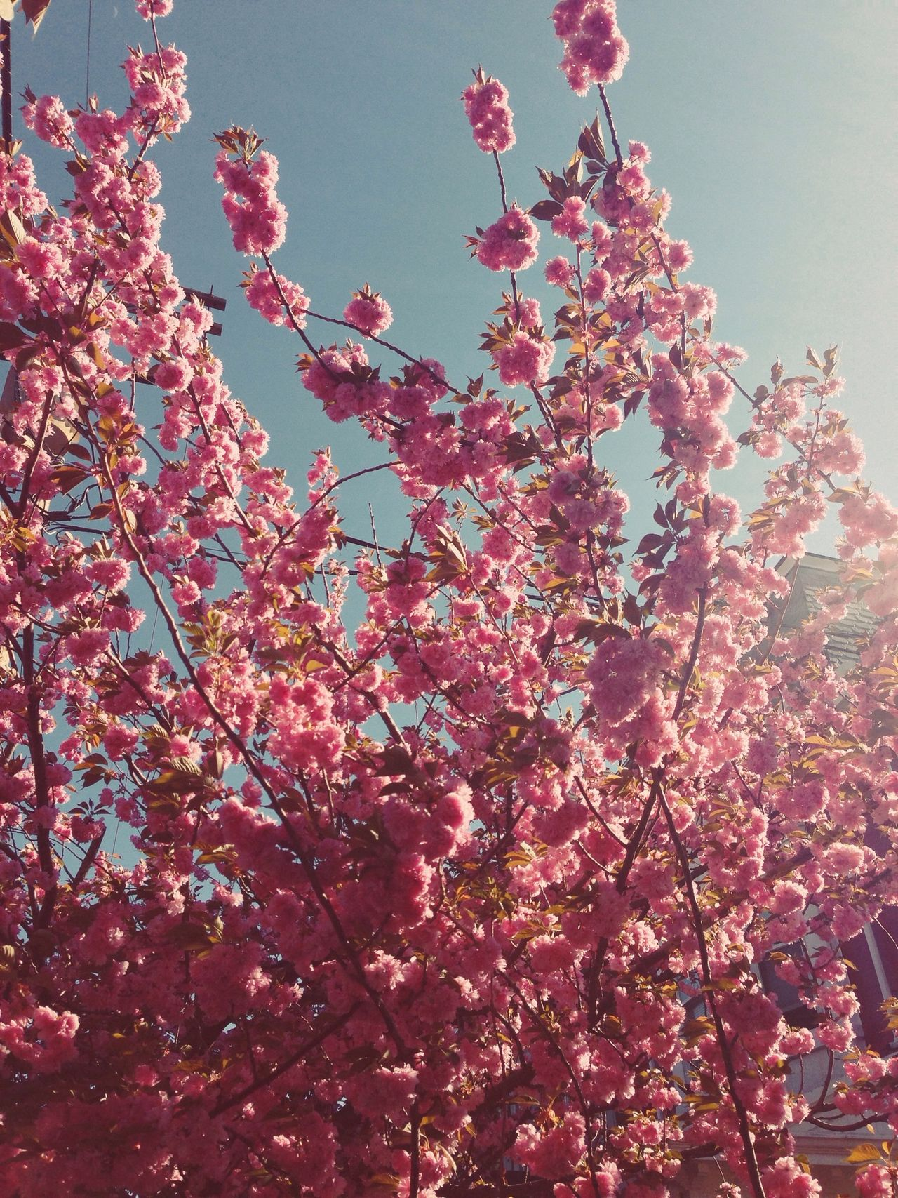 Beautiful stock photos of cherry, Blossom, Cherry Blossom, Cherry Tree, Clear Sky