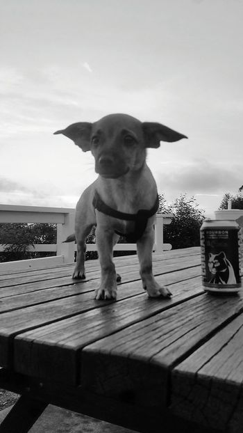 Mobilephonephotography Mobilephotography Eye4photography  Love❤ Lovelife Love It Chiuahua Taco Chihuahua Blackandwhite Black And White One Animal Taco Chihuahua Dog Pets Domestic Animals Mammal Animal Themes Outdoors Nature Day No People Water Sky
