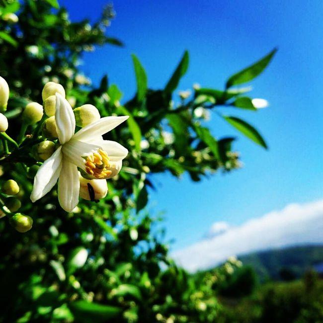 我が家の隣にある、甘夏の木。花が咲き始めました。甘く爽やかな香りが漂ってきます。久しぶりの青空。ぼやーっとですが、奥に富士山、見えますか? 富士山 Mt.Fuji Hello World Blue Sky 青空 みかんの花 五月晴れ