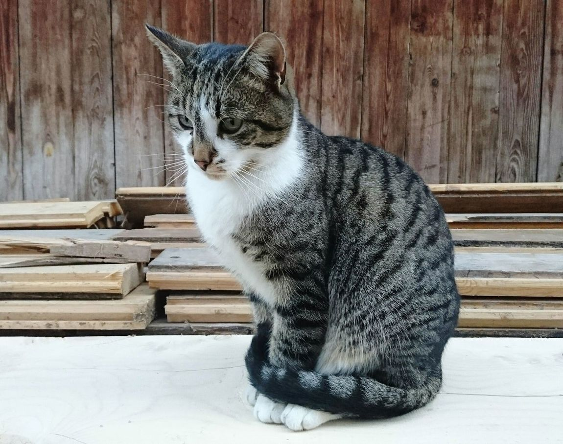 Cat Domestic Cat One Animal Animal Themes Domestic Animals Mammal Feline Pets No People Sitting Day Portrait Outdoors