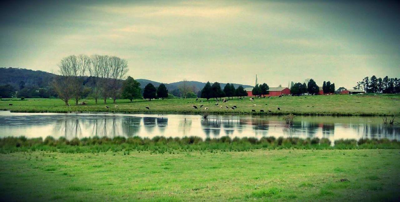 Dairy country, Bega, Australia Reflection Grass Tree Lake Water Sky Nature No People Horizontal Bega Dairy Cows Grazing Reflection scenics Tranquil Scene Day Grass Tree Lake Water Sky Nature No People Horizontal Tranquility