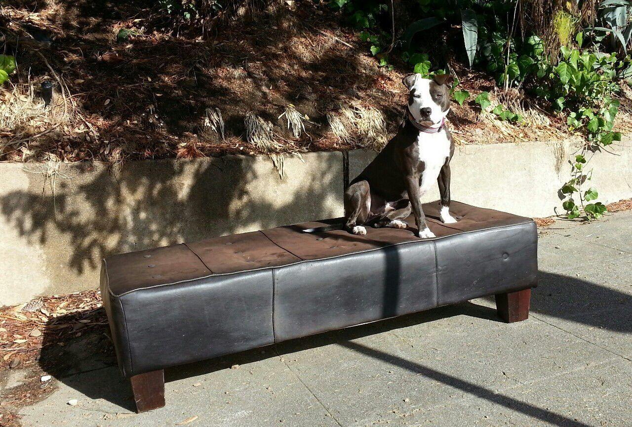 Beautiful stock photos of pitbull, Animal Themes, Collar, Day, Dog