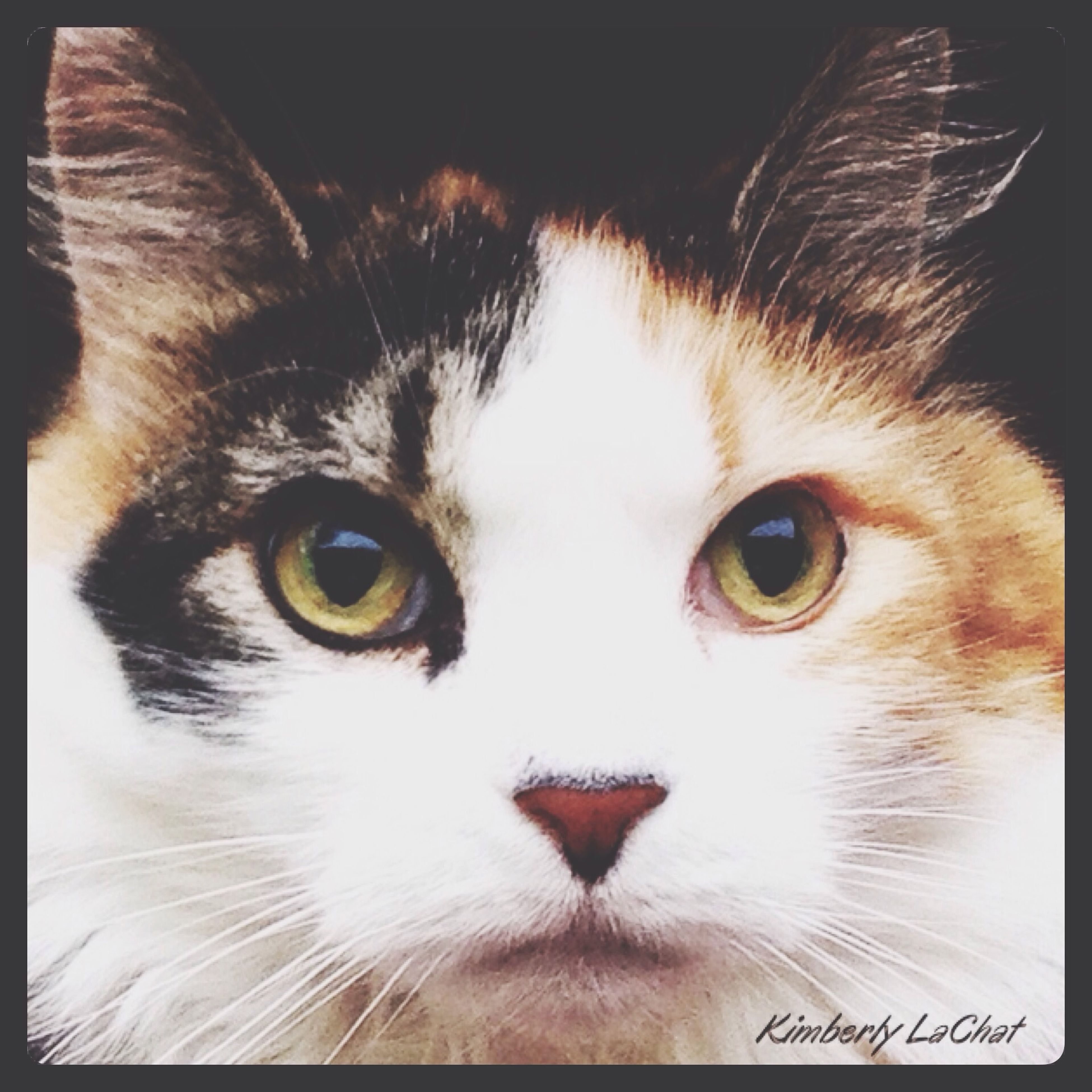 one animal, animal themes, pets, domestic animals, domestic cat, cat, animal head, portrait, looking at camera, close-up, animal eye, whisker, mammal, transfer print, feline, animal body part, auto post production filter, indoors, alertness, staring