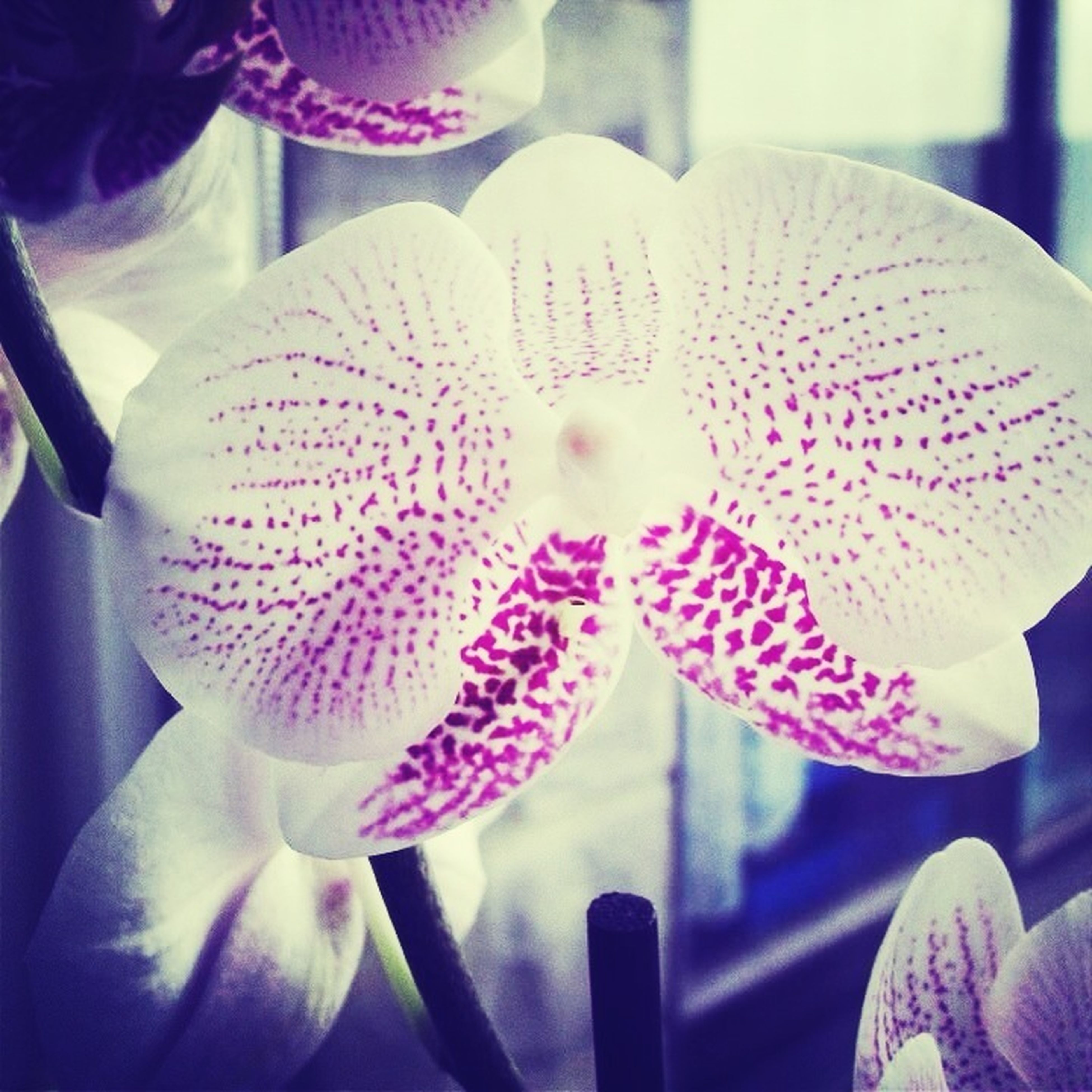 flower, petal, close-up, indoors, focus on foreground, flower head, fragility, freshness, orchid, beauty in nature, nature, purple, no people, growth, day, pink color, decoration, blooming, white color