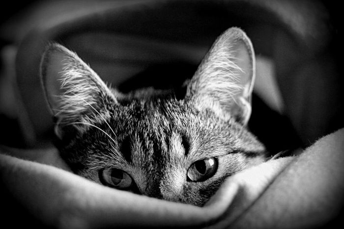 Domestic Cat Pets Domestic Animals One Animal Mammal Feline Animal Animal Themes Tabby Cat Close-up Indoors  Adult People Day Cat Cats Cat♡ Cat Eyes Always Be Cozy