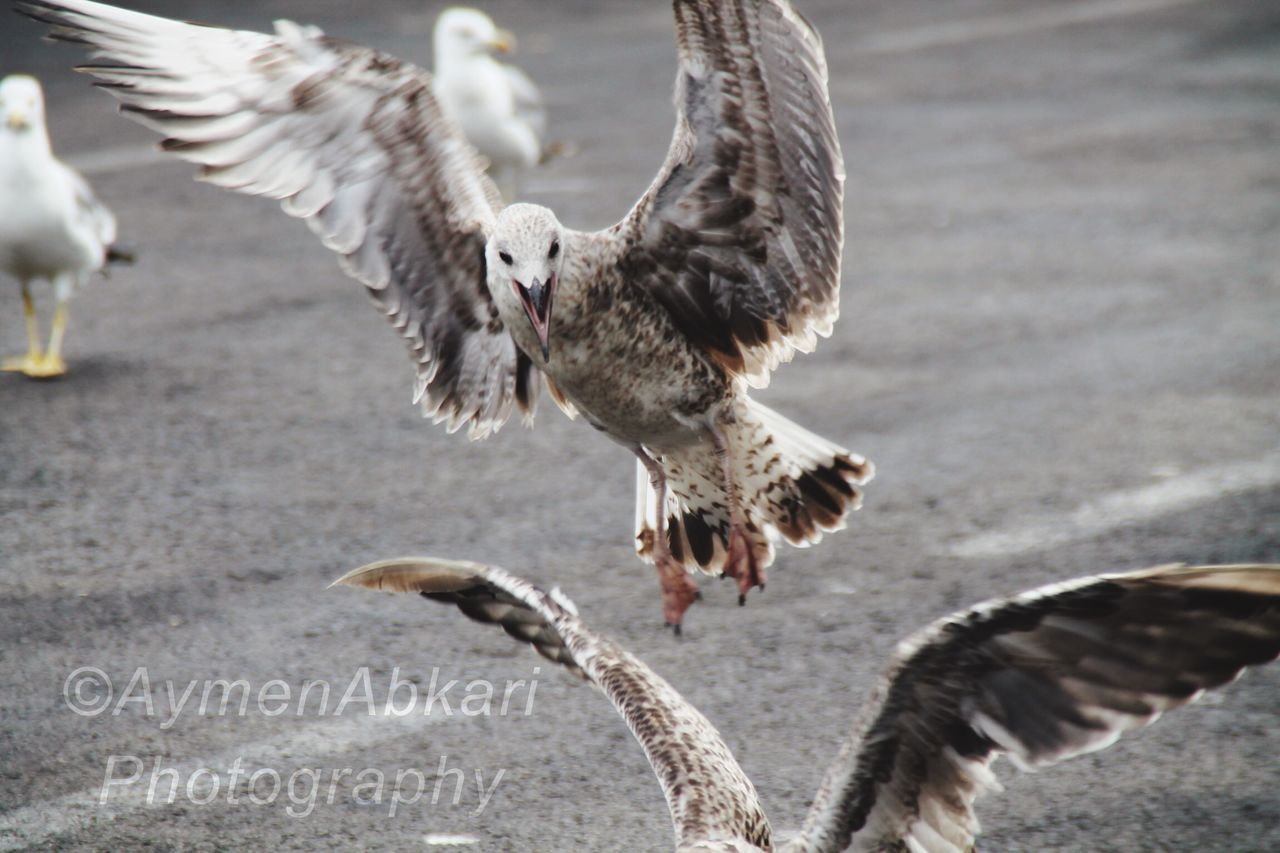 spread wings, bird, flying, animal themes, animals in the wild, animal wildlife, mid-air, flapping, day, outdoors, nature, no people, togetherness, bird of prey