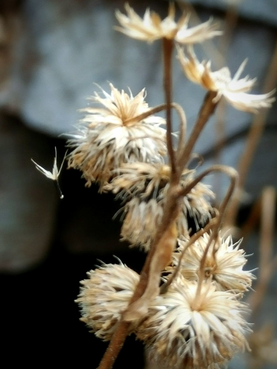 flower, nature, fragility, close-up, plant, flower head, no people, growth, beauty in nature, outdoors, day, freshness