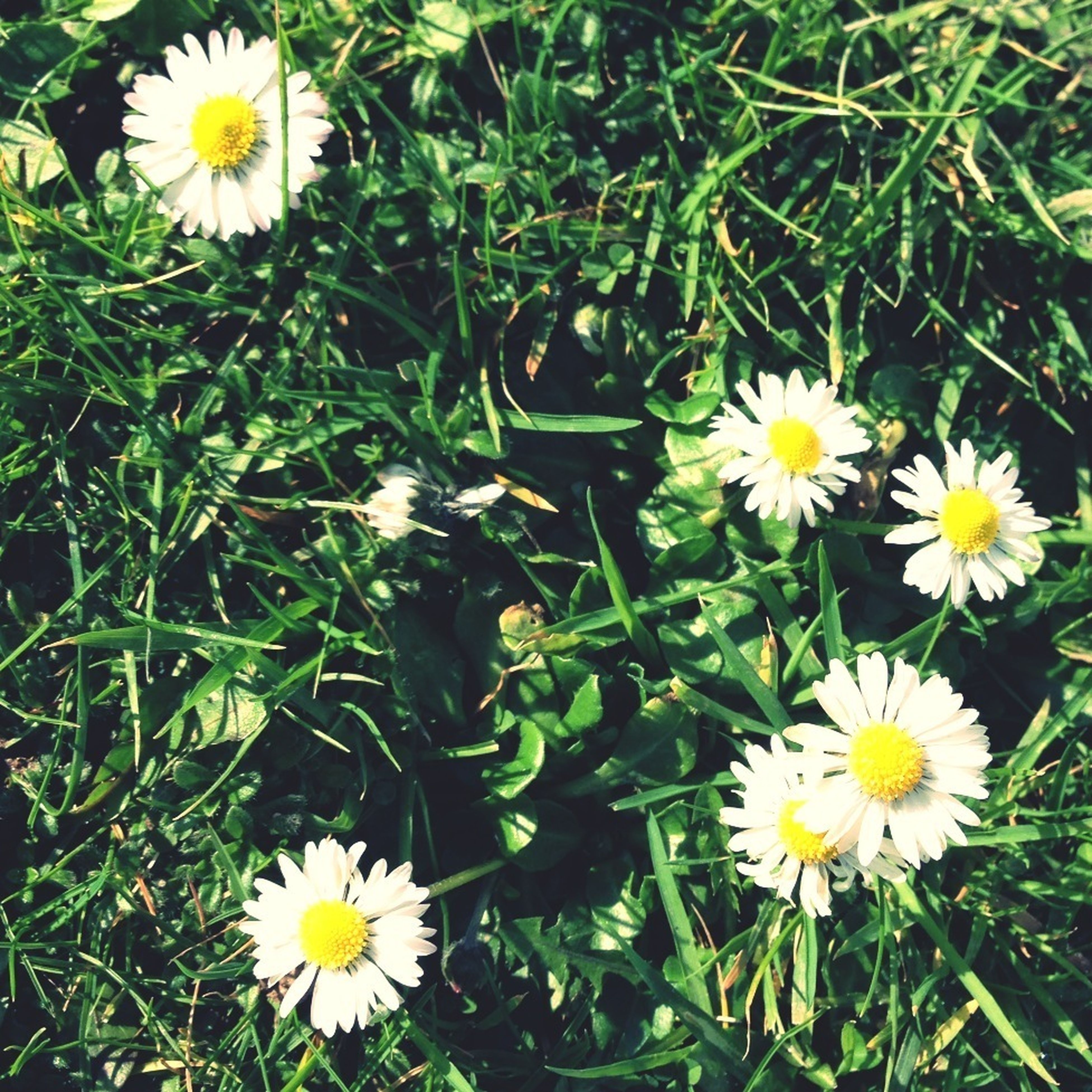 flower, freshness, petal, fragility, daisy, growth, flower head, white color, beauty in nature, blooming, plant, high angle view, yellow, nature, field, pollen, grass, green color, in bloom, wildflower