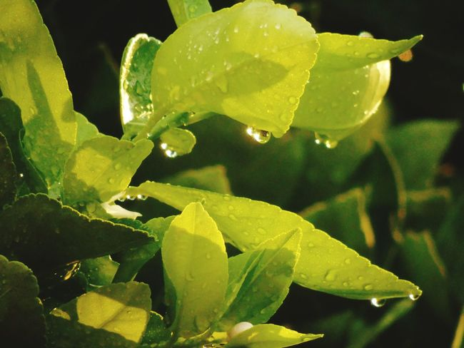 After the rain comes the sun... Taking Photos Rainy Days Water_collection Water Drops Leafs Light Drops Green Green Green!  Sun Light Light Shades Of Green