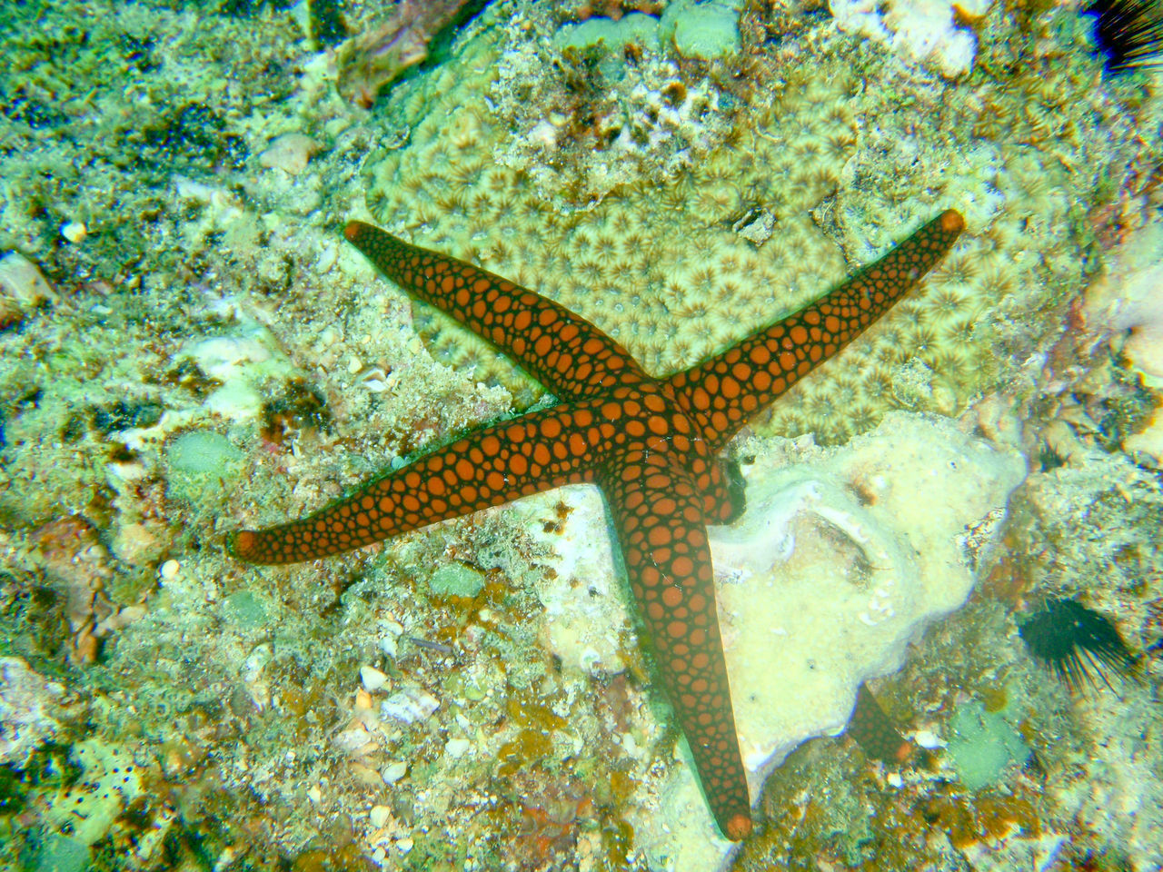 Beautiful stock photos of starfish, Animal, Aquatic, Environment, Exotic