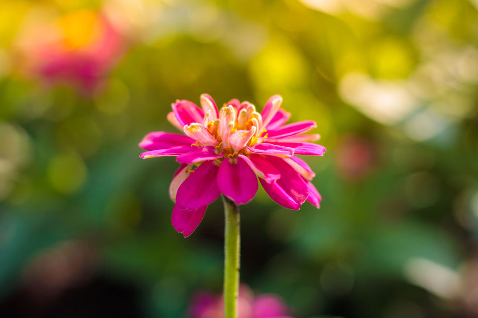 Beauty In Nature Blooming Bokeheffect Buity In Nature Close-up Day Flower Flower Head Focus On Foreground Fragility Freshness Growth Lens Flare Lifestyles Light And Shadow Nature No People Outdoors Petal Pink Color Pink Flower Plant Zinnia  EyeEmNewHere