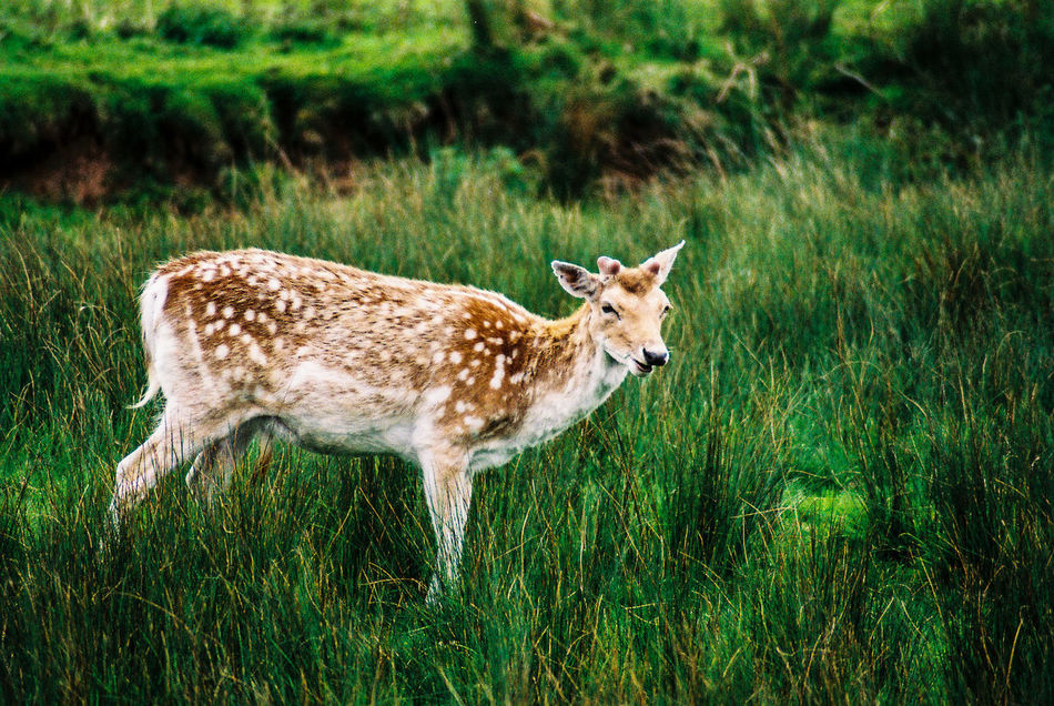 Took this while me and my girlfriend were exploring Bradgate Park, Leicester. Taken with my Nikon F60. Bradgate Park Leicester Deer NikonF60