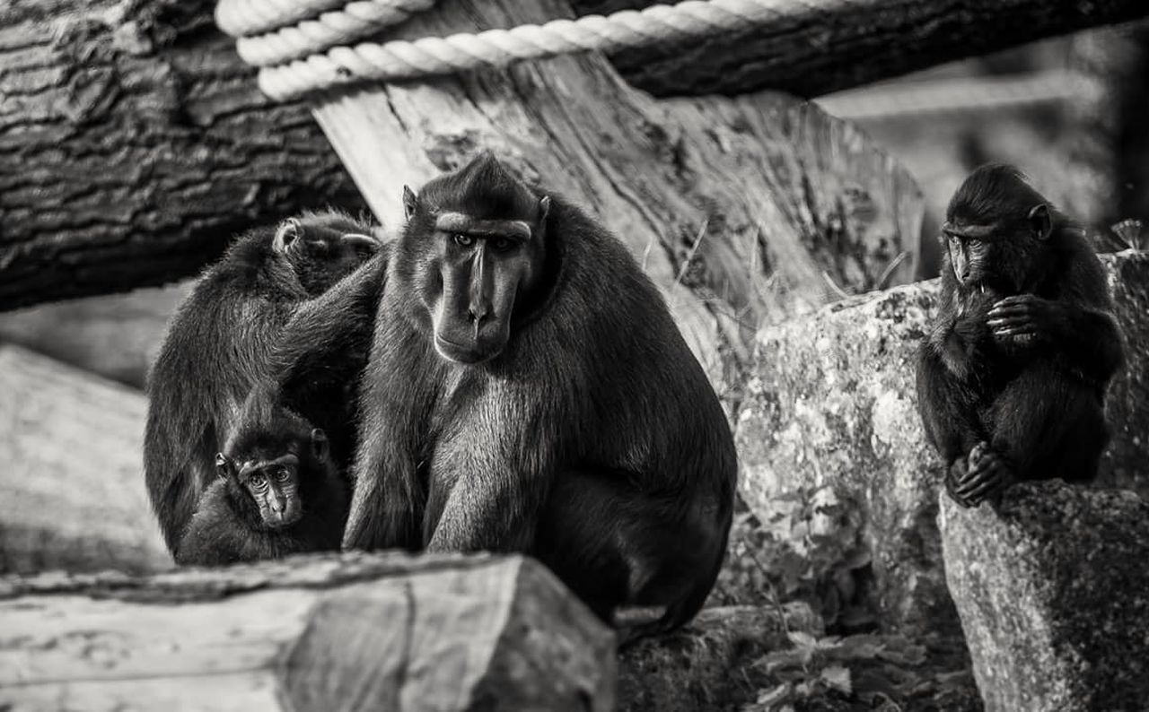 Monkey Animal Wildlife Mammal Sitting Animal Themes Primate Zoo Animals  Nature Animal Themes Animals In The Wild Mammal Animal Wildlife Sitting No People Primate Outdoors Close-up Day Nature Monkey Chimpanzee First Eyeem Photo