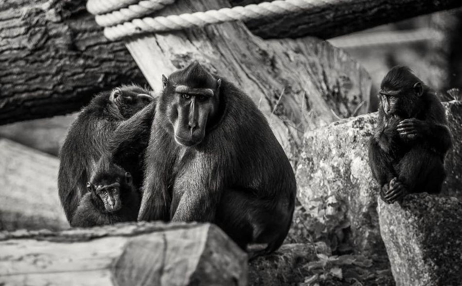 Monkey Animal Wildlife Mammal Sitting Animal Themes Primate Zoo Animals  Nature Animal Themes Animals In The Wild Mammal Animal Wildlife Sitting No People Primate Outdoors Close-up Day Nature Monkey Chimpanzee First Eyeem Photo