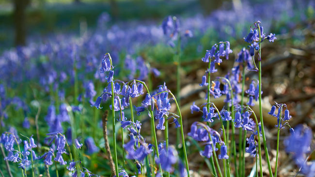 A close-up with Bluebells - Beauty In Nature Blooming Blossom Blue Bluebell Wood Bluebells Botany Close-up Day Field Flower Flower Head Forest Fragility Freshness Growth In Bloom Nature Outdoors Petal Plant Purple Hallerbos The Great Outdoors With Adobe Wood