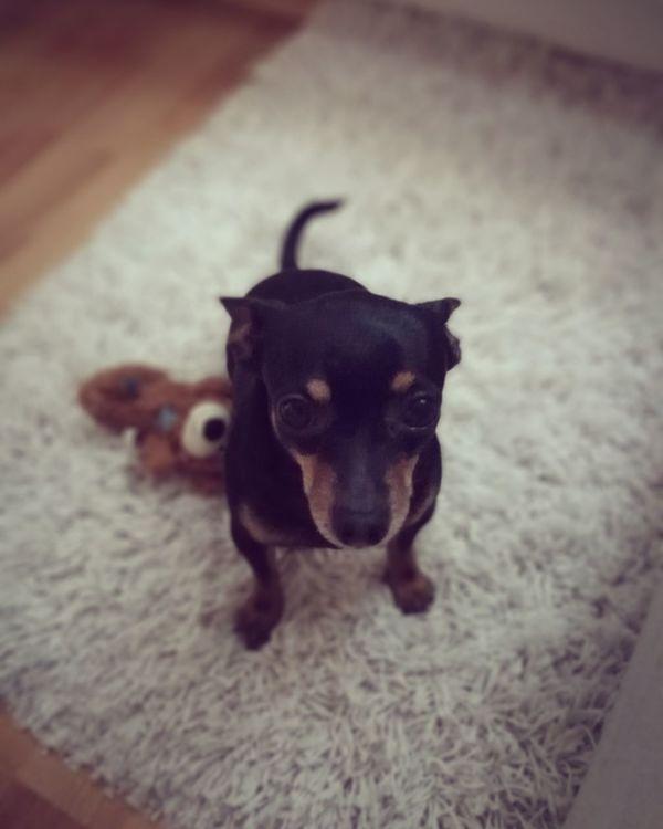 Dog Dog Pets Domestic Animals Looking At Camera Portrait Animal Themes One Animal Love ♥ Prague Ratter Prazskykrysarik