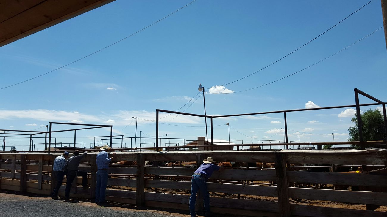 Sitting here @ Cattle Auction In Sun Valley, AZ. Arizona Auction Sun Valley Cattle Cows Check This Out Taking Photos Smelly Cows Moo Cow