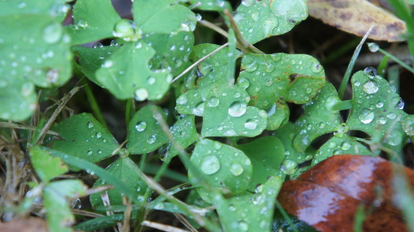 Nature's Diversities Green WaterTrebol Life Leaves🌿 Cold Grass Ground Nature Lakescape FieldWaterdrops