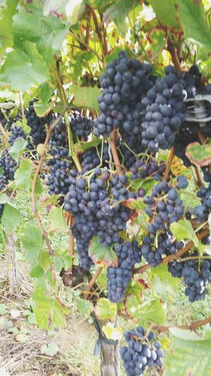Fruit Vine Grape