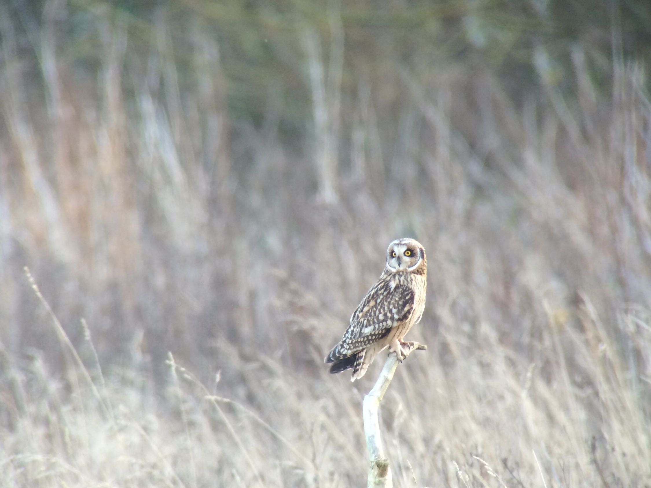 Short-eared Owl at Lunt Meadows LWT reserve, digiscoped with an iPhone 5S, Swarovski ATX85 scope & PA-i5 adaptor. IPhone 5S Swarovski ATX85 IPS2016Nature Swarovski Optiks
