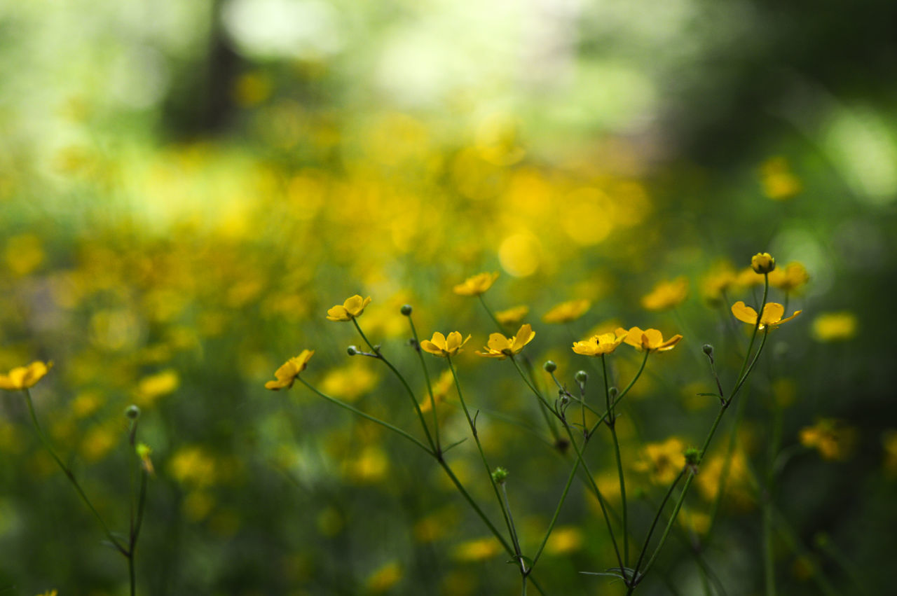 Row of crowfoots on a wayside... In The Forest Nature Plant Outdoors Close-up Beauty Growth Flower Beauty In Nature Landscape Springtime No People Day Rural Scene Freshness Flowers Crowfoots Buttercup Bokeh Wayside Forest Selective Focus Yellow Nature Photography Tranquility