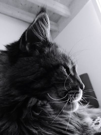 Domestic Cat One Animal Pets Domestic Animals Mammal Feline Animal Themes Indoors  Whisker Close-up Animal Head  No People Day Persian Cat  Mainecoon Black And White Friday