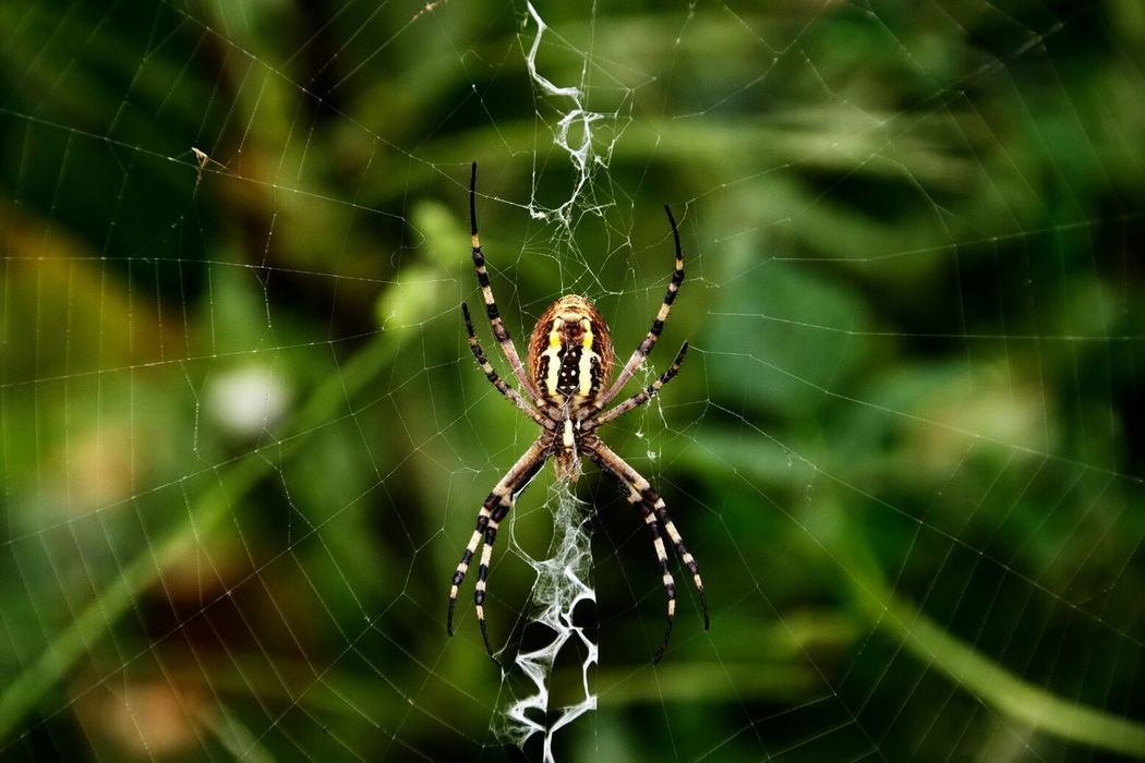 Huge spider struggling on the web Summer Views Macro Photography Macro Nature Macro_collection Nature Photography Animal_collection Garden Photography Macro Deceptively Simple