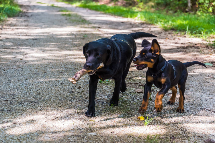Animal Themes Day Dog Domestic Animals Labrador Mammal Nature No People One Animal Outdoors Pets Puppy Rottweiler