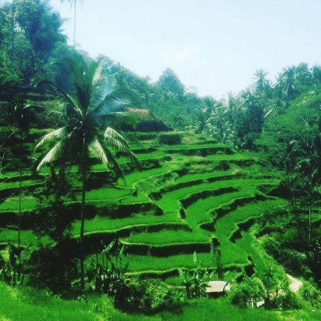 Rural Scene Landscape Tranquility Beauty In Nature Scenics Travel Destinations Terraced Field Lifewelltraveled Traveling Travelingtheworld  Travelingindonesia INDONESIA Ubud Ubud, Bali Calm Idyllic Rice Field Tegalalang