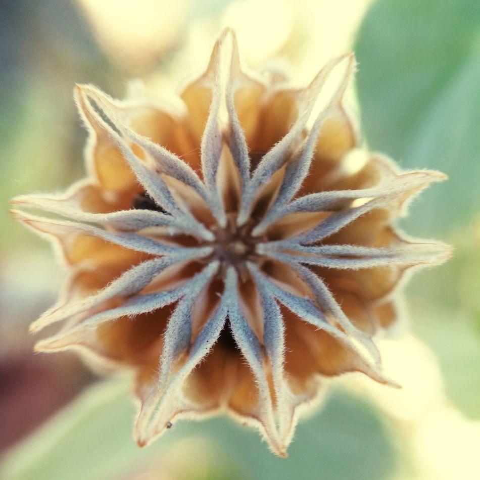 Dried remnants of a flower on the desert. Desert Flower Dried Symmetry