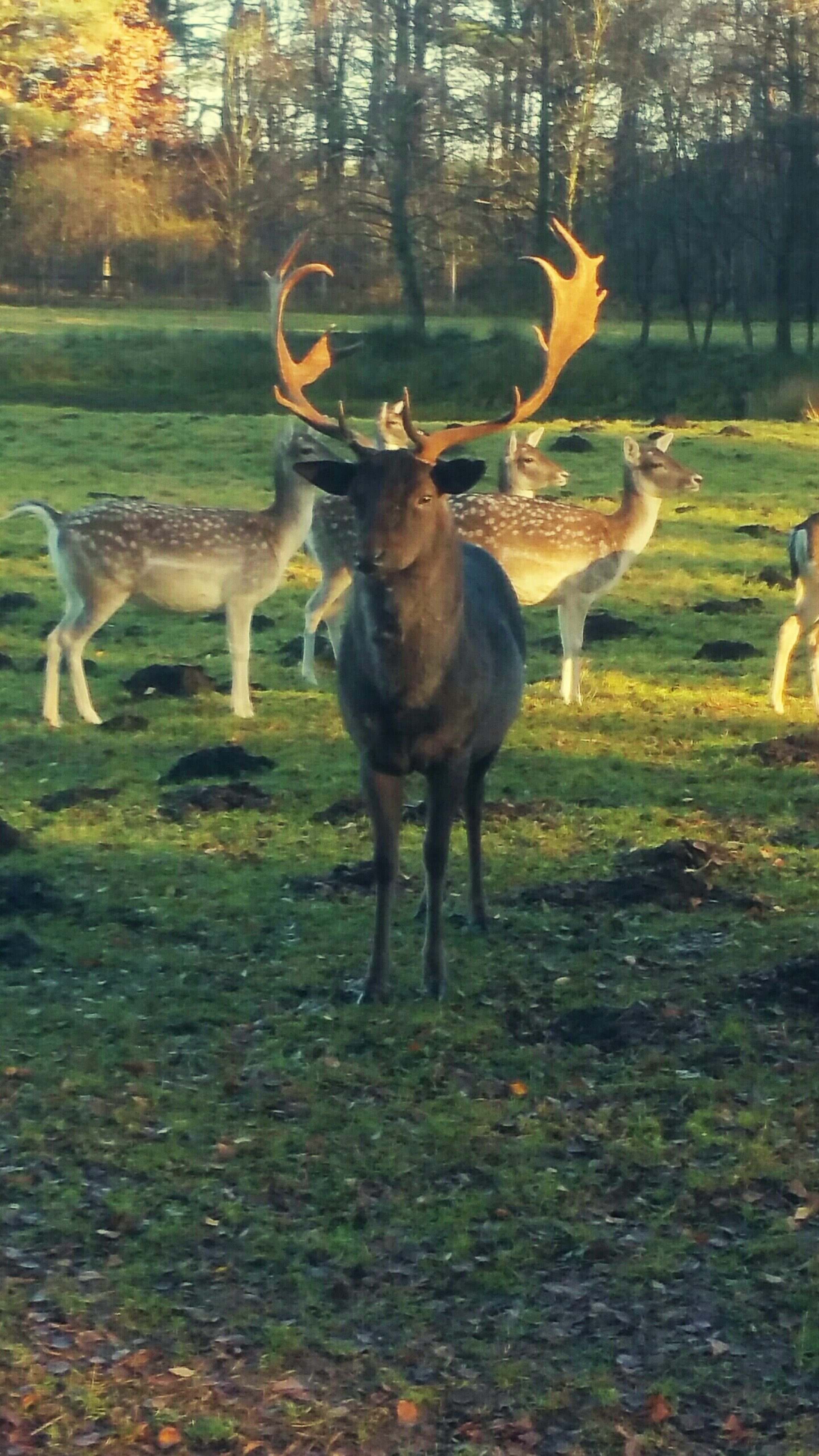 animal themes, mammal, nature, grass, no people, animals in the wild, sunlight, tree, forest, field, full length, day, antler, deer, zoology, outdoors, motion, stag