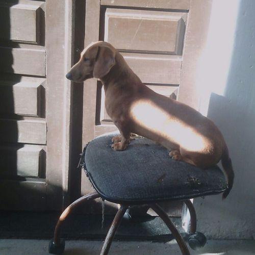 Sou uma mocinha educada ^^' Dogslife Dog Love Duchshund Pepinha I Love My Dog Lovedog